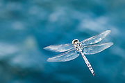 Dragon fly hoving over blue water in Ninepipes Wildlife Refuge, Montana