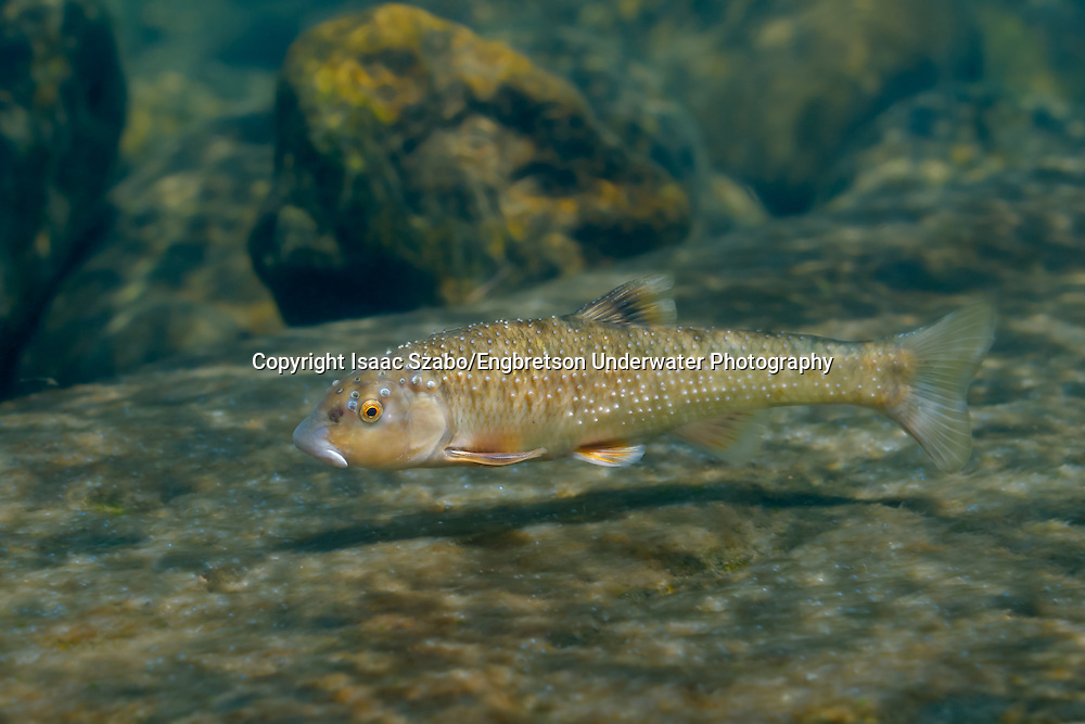 Largescale Stoneroller<br /> <br /> Isaac Szabo/Engbretson Underwater Photo