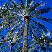 Palm trees and sky, Phoenix, Arizona..Subject photograph(s) are copyright Edward McCain. All rights are reserved except those specifically granted by Edward McCain in writing prior to publication...McCain Photography.211 S 4th Avenue.Tucson, AZ 85701-2103.(520) 623-1998.mobile: (520) 990-0999.fax: (520) 623-1190.http://www.mccainphoto.com.edward@mccainphoto.com