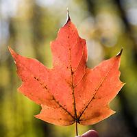 A hand holding a fallen maple leaf, Connecticut, USA