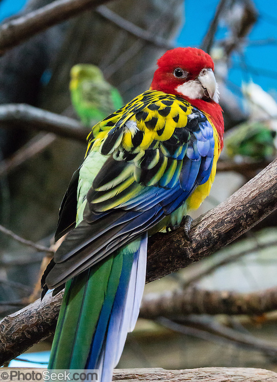 Eastern Rosella (Platycercus eximius) is from southeast Australia. Woodland Park Zoo, Seattle, Washington, USA.