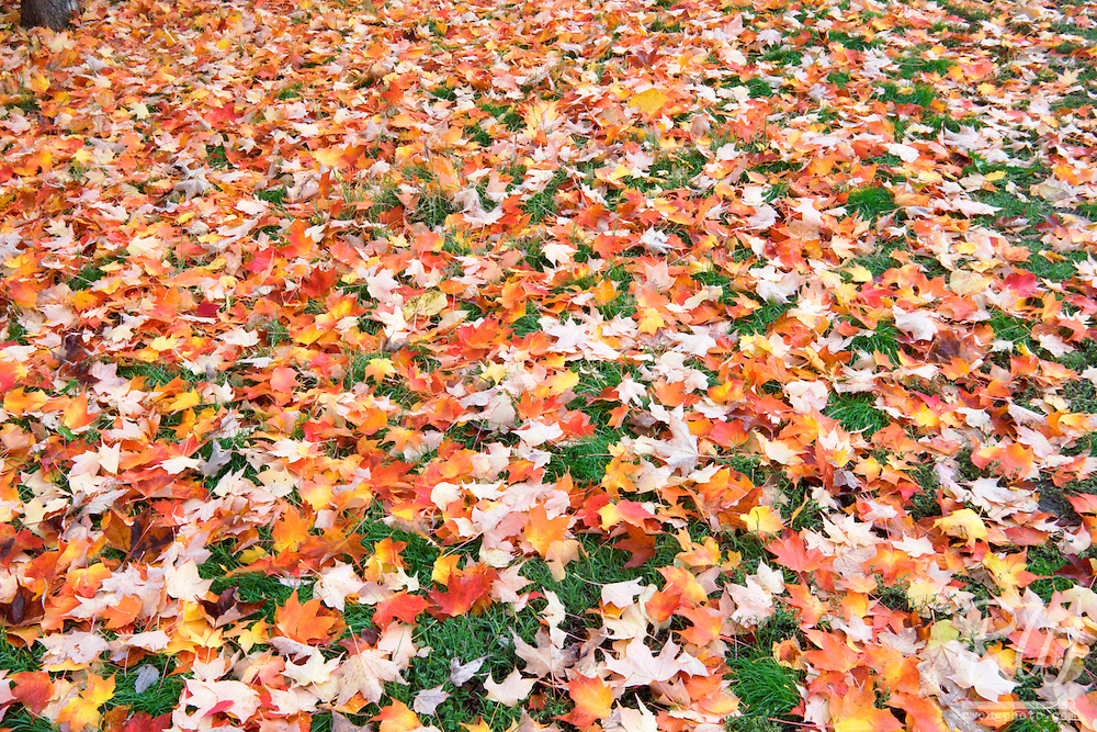 Fallen Maple Tree Leaves in Fall, Nevada City, California