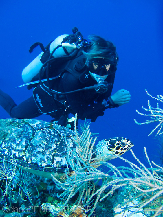 A diver watches a hawksbill turtle as it pauses between bites of sponge, on the reef surrounding Roatan, Honduras.