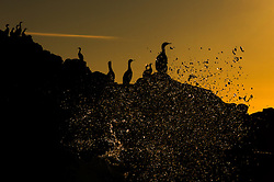 Red-faced Cormorant (Phalacrocorax urile) in Commander Island, Russia