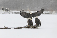 Bald Eagles (Haliaeetus leucocephalus) perched on log along the Chilkat River in the Chilkat Bald Eagle Preserve in Southeast Alaska. Winter. Morning.