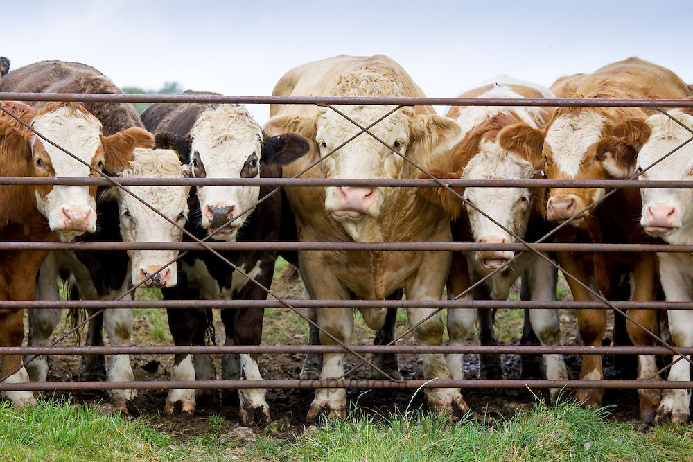Bull and cows at farm gate, Hazleton, Gloucestershire, The Cotswolds, England, United Kingdom