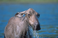 Moose (Alces alces), feeding in Blue lake - Muskwa-Kechika, British Columbia, Canada   Photo: Peter Llewellyn