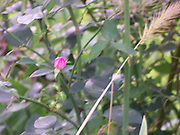 Rosebud with grass frond in foreground.