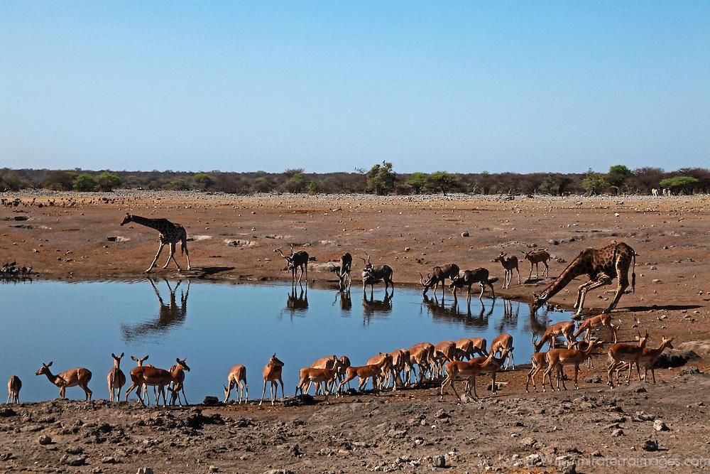Africa, Namibia, Etosha. Wildlife at watring hole in Etosha National Park.
