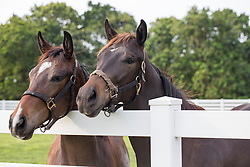 two brown horses looking over a fence in Florida