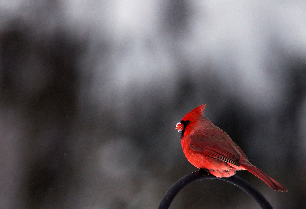 The northern cardinal is a songbird of mid-size.  The male's color is a vibrant red.  The northern cardinal inhabits most of North America from southern Canada to Mexico.
