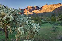 Chain-Fruit Cholla.(Opuntia fulgida),Organ Pipe Cactus National Monument Arizona