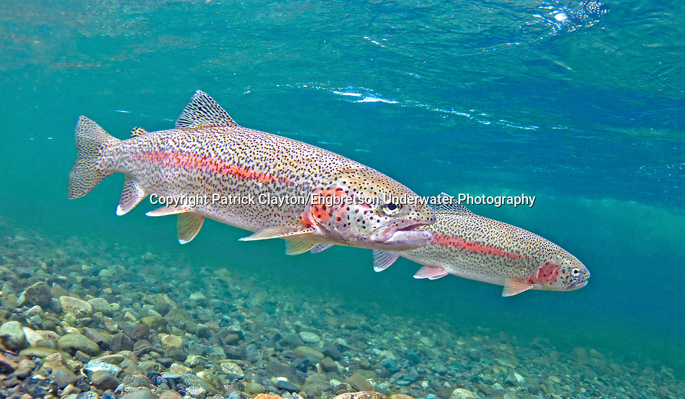 Rainbow trout engbretson underwater photography for Trout fish pictures