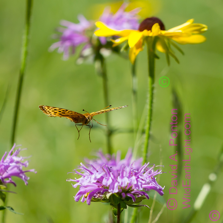 Fritillary butterfly in flight, descending toward horsemint blossom in a mountain meadow, with a black-eyed Susan in the background. Jemez Mountains, NM. © 2010 David A. Ponton