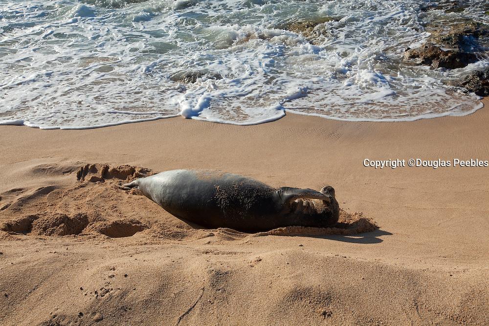 Hawaiian Monk Seal, Mauna Lahilahi Beach Park, Waianae, Leeward Coast, Oahu, Hawaii