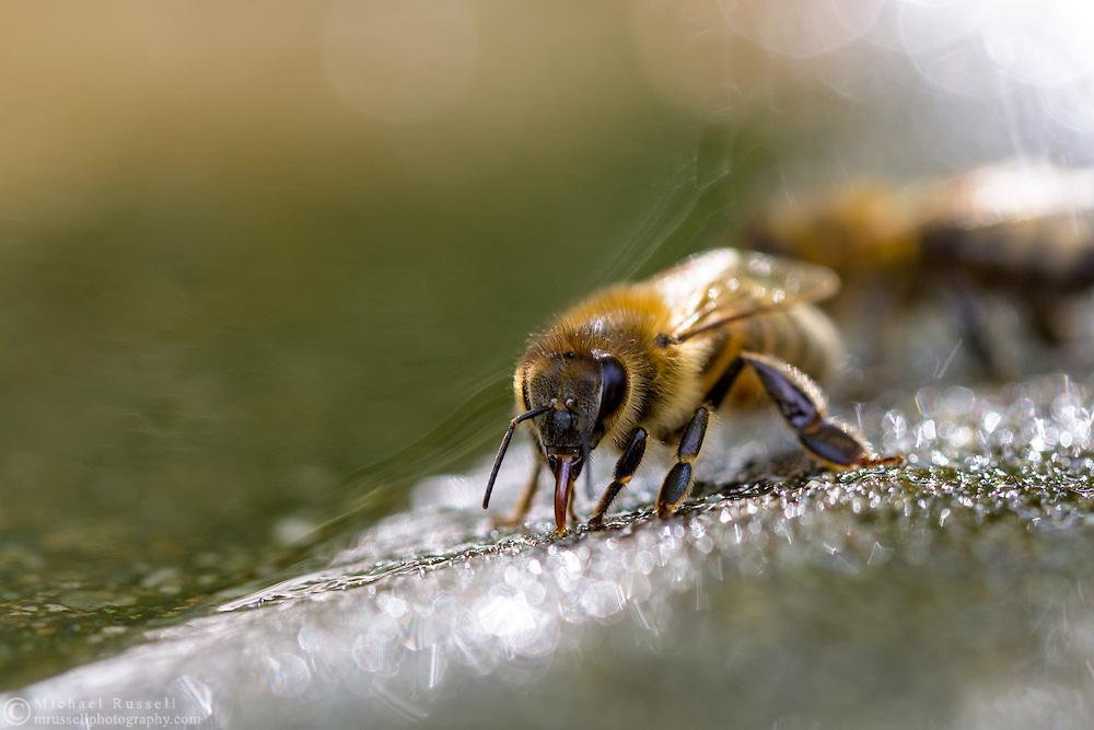 Honeybee (Apis mellifera) drinking water from the edge of a birdbath