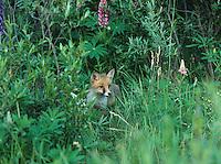 Fox cub standing by bushes