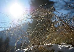 THEMENBILD - Winter Wanderung von Lienz zum Reiter Kirchl welches sich ueber Leisach auf 1130 m Seehoehe befindet, das Bild wurde am 25. Dezember 2011 aufgebommen, im Bild Graeser im Gegenlicht, AUT, EXPA Pictures © 2011, PhotoCredit: EXPA/ M. Gruber