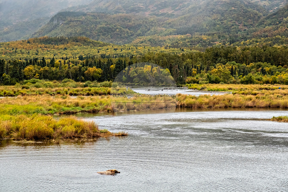 A lone grizzly bear fishing in the lower Brooks River lagoon with Dumpling Mountain behind in Katmai National Park and Preserve September 16, 2019 near King Salmon, Alaska. The park spans the worlds largest salmon run with nearly 62 million salmon migrating through the streams which feeds some of the largest bears in the world.