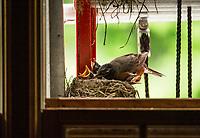 "Robins nesting outside the garage in the ""ladder condo"".  ©2017 Karen Bobotas Photographer"