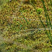 """Nederland nationaal park de grote peel 30 september 2008 20080930 Foto: David Rozing ..Serie vernattingscampagne """" Nieuw Limburgs Peil """" de Peel ..Voorbeeld natuurbelang van het Nieuw Limburgs Peil: Veenmos, het fundament voor hoogveen, was 10 jaar geleden niet op deze plek te vinden. De bedoeling is dat het hoogveen, dat door de turfwinning vrijwel geheel is vedwenen, weer terugkomt. Hoogveenflora gedijt alleen bij een hoge stabielewaterstand wat het project mogelijk maakt..Vernattingscampagne """" Nieuw Limburgs Peil """" in omgeving de Peel, uitgevoerd door o.a. de  plaatselijke boeren in samenwerking met het waterschap Peel en Maasvallei. Het doel is een hoger peil van het grondwater dmv het vasthouden van hemelwater. Dit  wordt verwezenlijkt door de aanleg van stuwen in de watergangen bij bv akkers. Door de stuwen in de sloten/ watergangen dicht te zetten wordt het grondwaterpeil hoger in het gebied. Voordelen hiervan zijn: verdroging van de natuur wordt tegen gegaan, voor de boeren kan het drie beregeningen per jaar besparen. Boerenpeil: 400 van de inmiddels 1250 stuwen worden beheerd door de boeren. Natuurgebieden als De Grote Peel en Maria peel hebben veel te lijden gehad onder eerder .waterbeheer:  Het waterschap heeft in het verleden veel akkerslootjes, beken en kanaaltjes aangelegd om ervoor te zorgen dat het water rond dit natuurgebied snel kon wegvloeien, zodat de oogsten.niet zouden verrotten en de akkers goed bewerkbaar waren, maar waardoor nu het waterpeil erg snel zakt..Medewerkers van het waterschap bezoeken de boeren thuis en voeren keukentafelgesprekken met hen om ze te betrekken bij het project. .De Peel is een grotendeels verdwenen hoogveengebied op de grens van de Nederlandse provincies Noord-Brabant en Limburg. ..Foto David Rozing"""