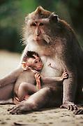 Monkey mother with nursing infant. Ubud, Bali, Indonesia.
