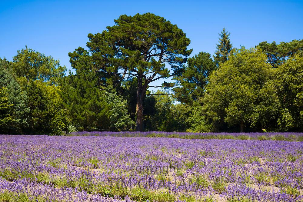 Lavender crop, Lavandula, purple flowering plants growing at Jersey Lavender farm in St Brelade, Jersey, Channel Isles