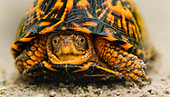 close-up of box turtle on sandy road in Pocosin NWR