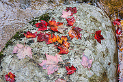 Red maple leaves on rock, White Mountain National Forest, Kancamagus H. Route 112, New Hampshire, USA. The White Mountains (a range in the northern Appalachian Mountains) cover a quarter of the state of New Hampshire. Leaf peepers love the peak of autumn foliage around the first week of October.