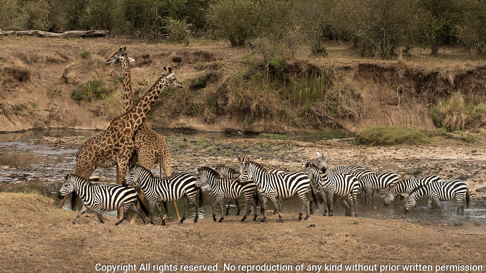 Masai Giraffe (Girrafa tippelskirch) and Plains Zebra (Equus quagga) stop for a drink on the banks of the Mara River, Kenya
