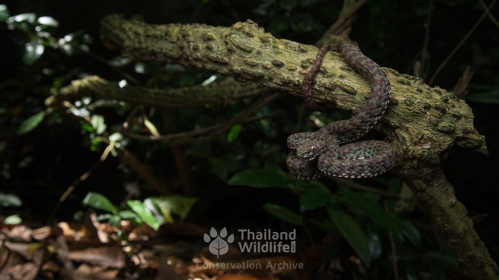 Beautiful Pit Viper (Trimeresurus venustus) in Nakhon Si Thammarat, Thailand