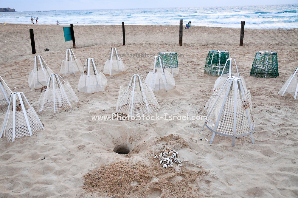 Israel, Atlit, Volunteers release green turtles, Chelonia mydas, after hatching for their first voyage to the Mediterranean Sea. Special markings mark the egg deposit sites Empty eggshells by the nest