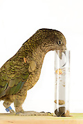 [captive] In this experiment the Kea (Nestor notabilis) is presented three tubes filled with water, large or small stones. The Kea learns to drop stones into the tube filled with water until the water level has risen high enough for the Kea to pick up a nut. The picture was taken in cooperation with the University of Vienna (UniVie) and University of Veterinary Medicine Vienna (VetMed). Sequence 11/16. | In diesem Experiment werden dem Kea (Nestor notabilis) drei Röhrchen präsentiert, die entweder mit Wasser, kleinen oder großen Steinchen gefüllt sind. Der Kea wirft gezielt Steine in die Säule mit Wasser, bis die darin befindliche Nuss hoch genug schwimmt, um vom Kea erreicht zu werden. Das Bild wurde in Zusammenarbeit mit der Veterinärmedizinischen Universität Wien und der Universität Wien erstellt. Sequenz 11/16.