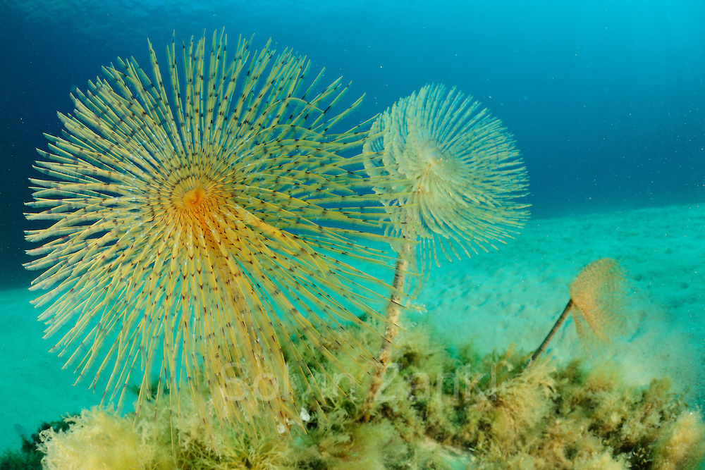 Fan worm (Spirographis spallanzani) [size of single organism: 30 cm] | Fächerwurm