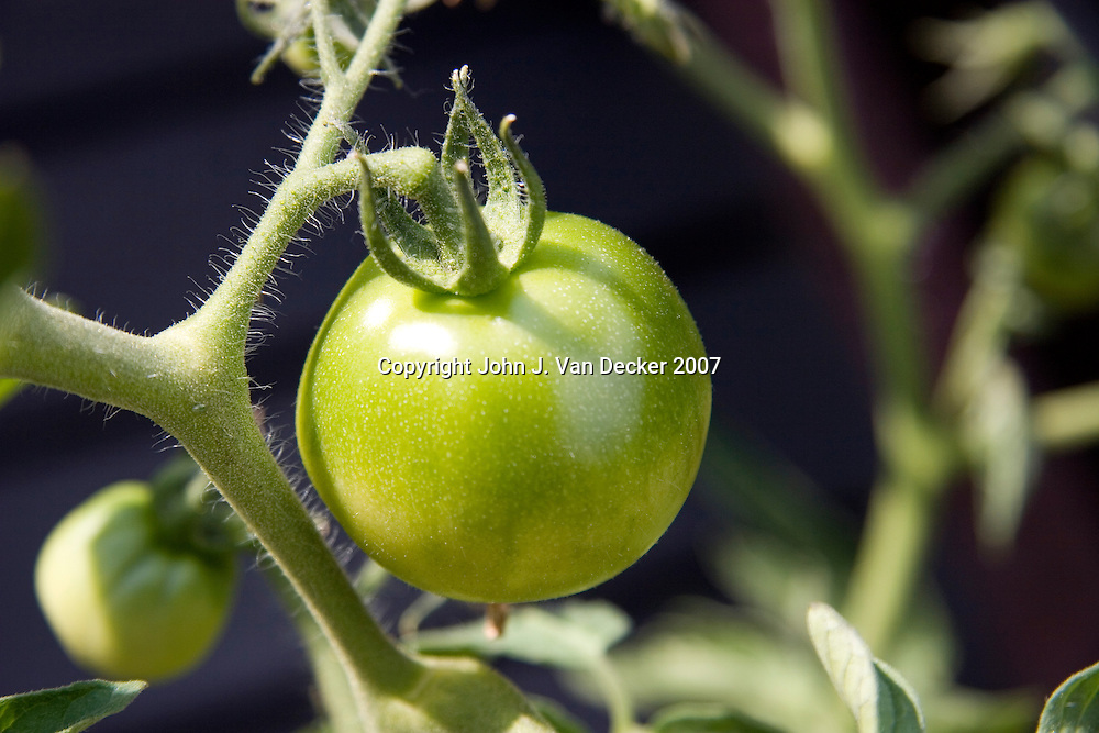 Green Tomato (horizontal)