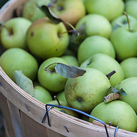 A bushel basket of Green Apples