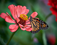 Monarch Butterfly on a Pink Zinnia Bloom. Image taken with a Fuji X-H1 camera and 80 mm f/2.8 macro lens.