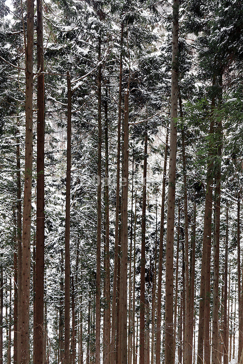 close up of a pine tree forest during winter