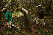 Arapaima (Arapaima gigas) fishing. Harvest on quota<br /> A South American tropical Fish that is one of the largest in the world.<br /> Rupununi<br /> GUYANA<br /> South America<br /> MODEL RELEASE GYA#1