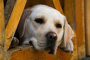 Blond Labrador retriever, Patagonia, Chile