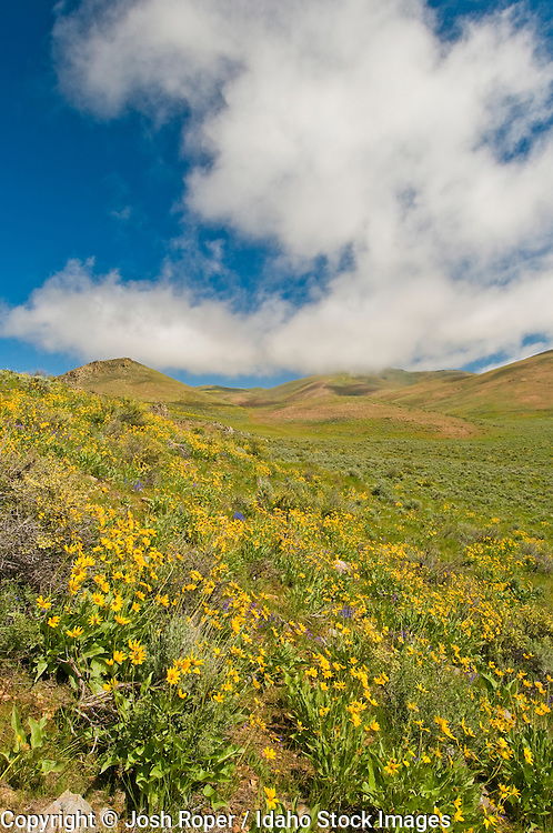 Idaho. The Camas Prairie. Beautiful wildflowers expolde with dramatic color in spring.