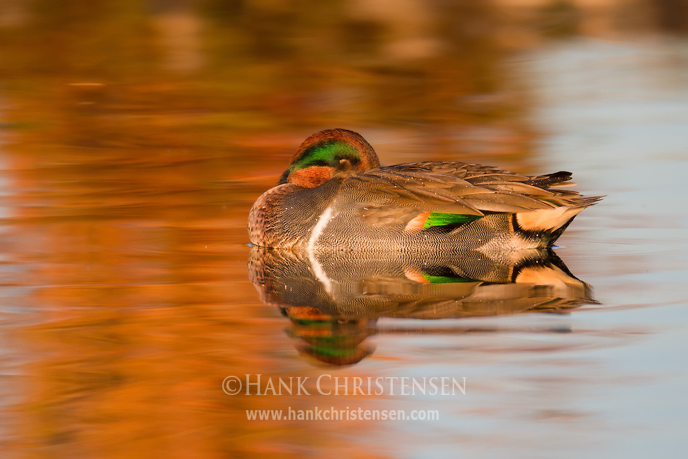 A green-winged teal sleeps as it floats, its reflection cast in the still water, Redwood Shores, CA
