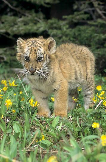 Siberian Tiger, (Panthera tigris altaica) Cub. Captive Animal.