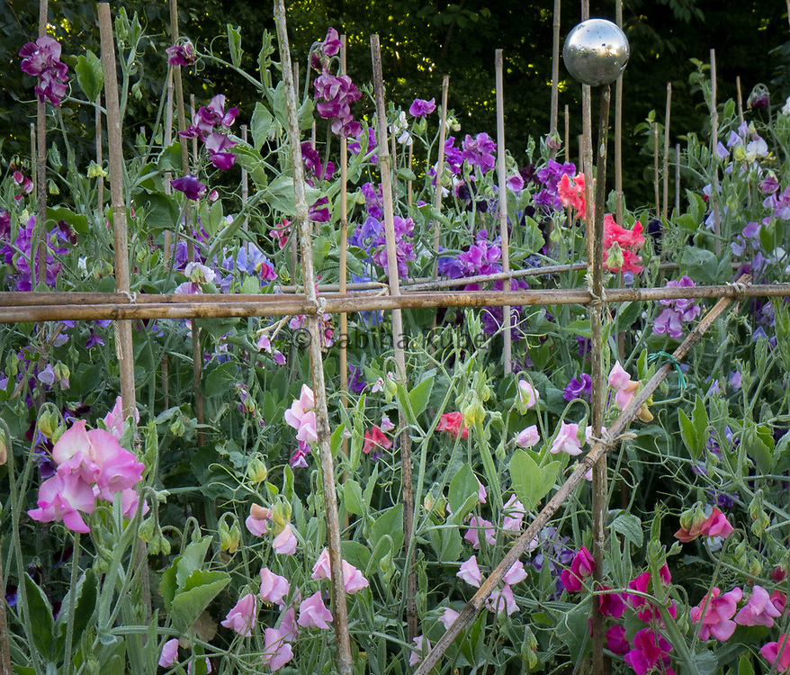 Lathyrus odoratus - sweet peas growing over canes