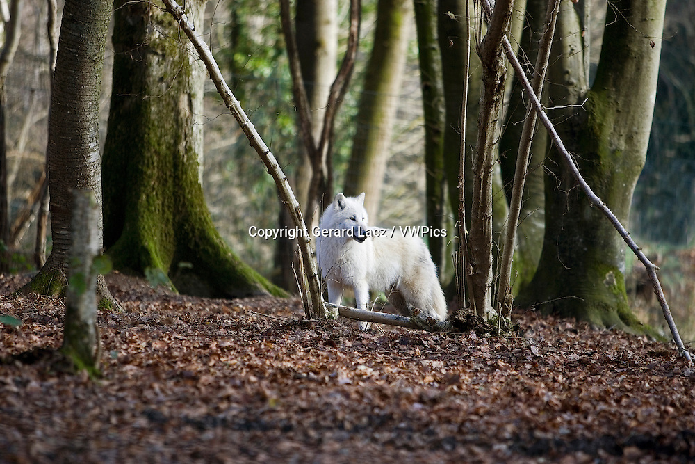 Arctic Wolf, canis lupus tundrarum, Adult standing on Dried Leaves in Forest