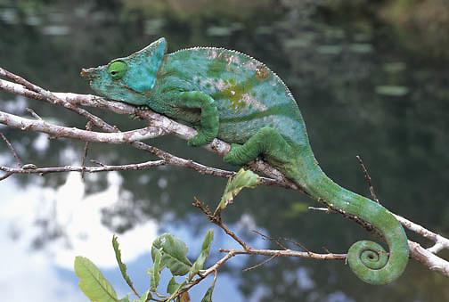 Parson's Chameleon (Calumma p. parsonii) in Madagascar.