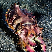 Flamboyant Cuttlefish Metasepia pfefferi at Lembeh Straits, Indonesia.