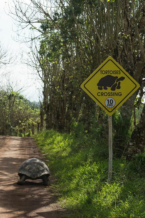 Galapagos Giant Tortoise (Chelonoidis nigra) & road<br /> Santa Cruz Island<br /> GALAPAGOS ISLANDS,<br /> Ecuador, South America<br /> Endemic