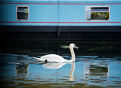 © Licensed to London News Pictures. 23/06/2020. London, UK. A swan passes a canalboat as it makes its way along Grand Union Canal at Little Venice in central London at the beginning of a warm summers day. Record temperatures are expected this week as the UK starts to relax lockdown restrictions, introduced earlier this year to prevent the spread of COVID-19. Photo credit: Ben Cawthra/LNP