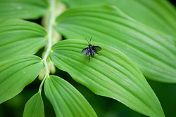 Sawfly - Phymatocera aterrima - on the foliage of Solomon's seal - Polygonatum × hybridum